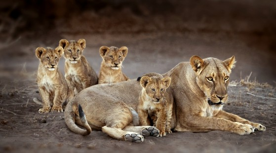 Lion Family portrait