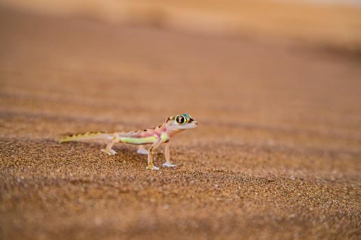 Desert Zebra, Namibia